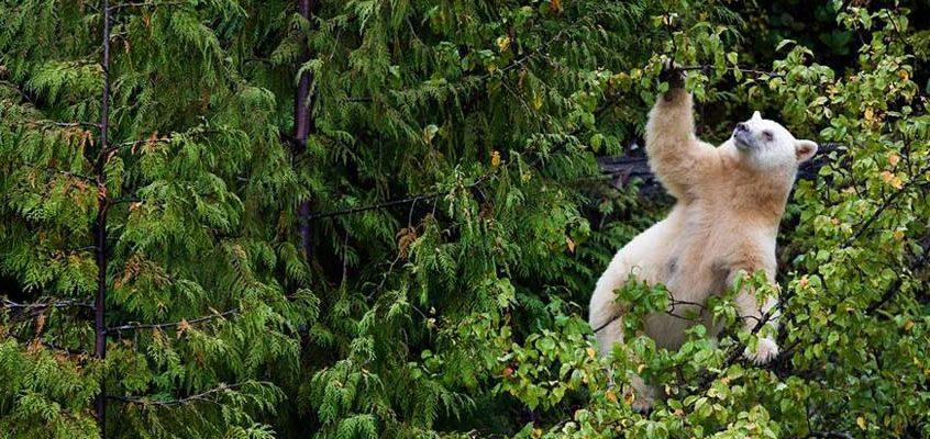 树丛中的克莫德熊,加拿大不列颠哥伦比亚省