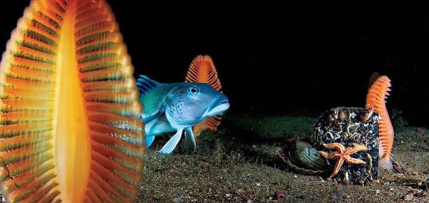 海鳃,新西兰