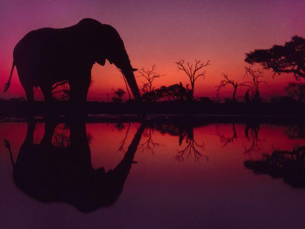 博茨瓦纳的非洲野象