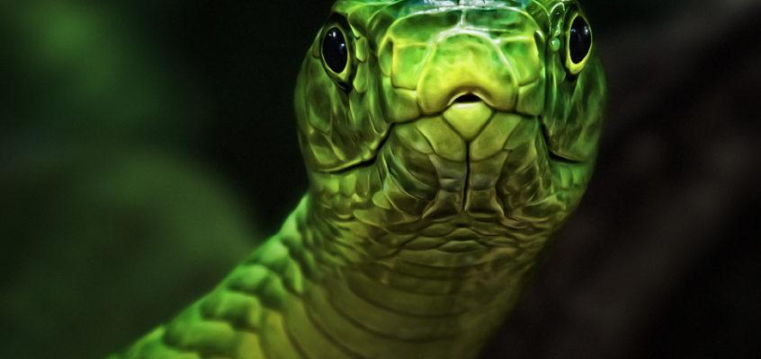 曼巴眼镜蛇