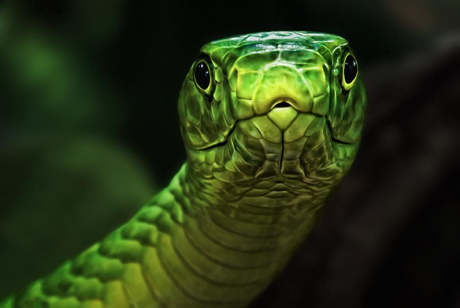 好奇的曼巴眼镜蛇  作者   Manuela Kulpa