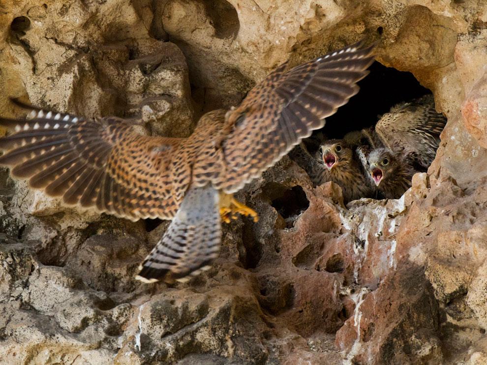 Falcons, Socotra 索科特拉岛的猎隼