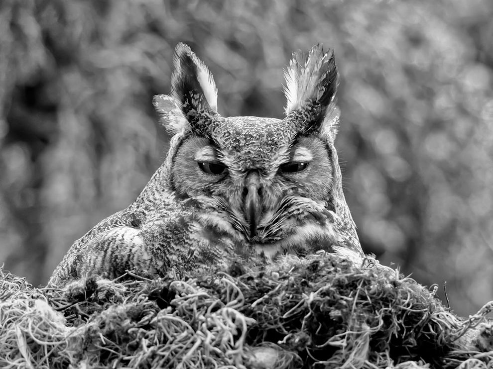 大角鸮,佛罗里达 Great Horned Owl, Florida