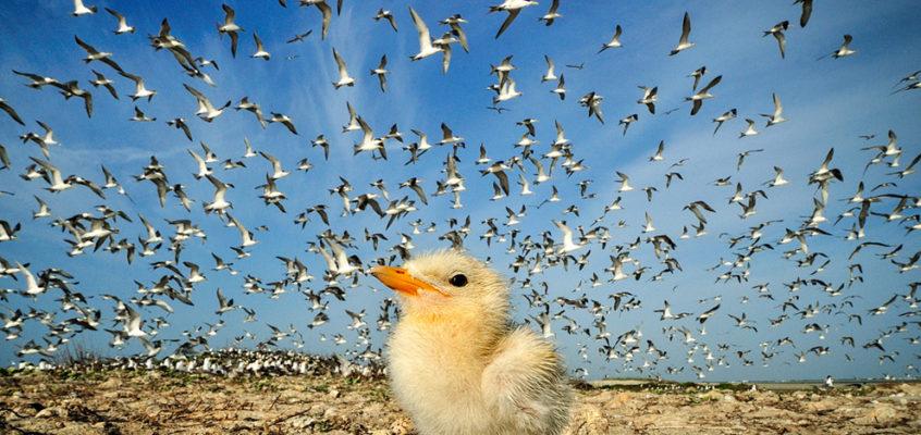 小燕鸥,斯里兰卡 Tern Chick, Sri Lanka
