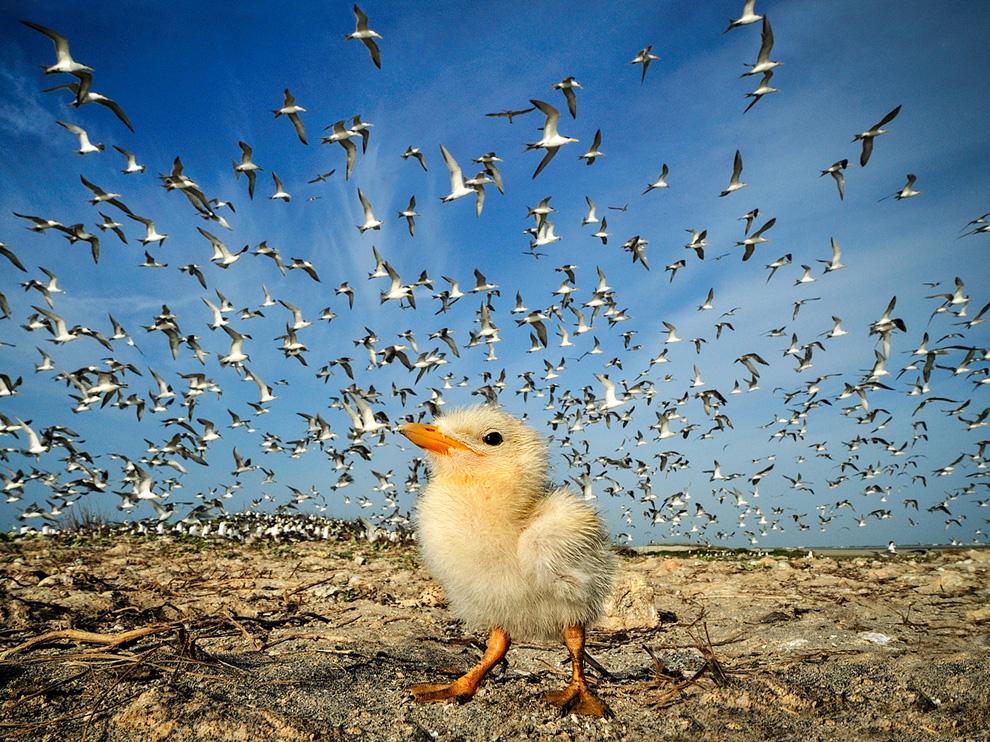 小燕鸥,斯里兰卡
