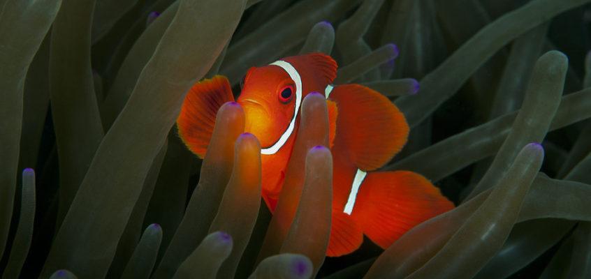 双线眶棘鲈与小丑鱼