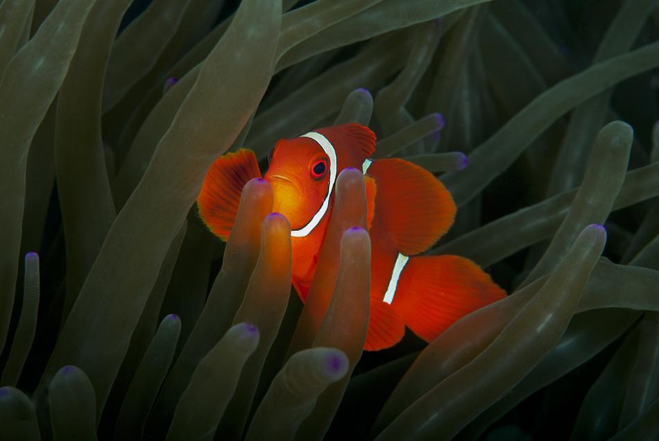 双线眶棘鲈与小丑鱼  摄于印尼 卡托比  作者 alastair-pollock